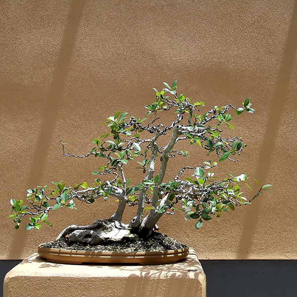ancient-japanese-art-of-bonsai cultivation of mini